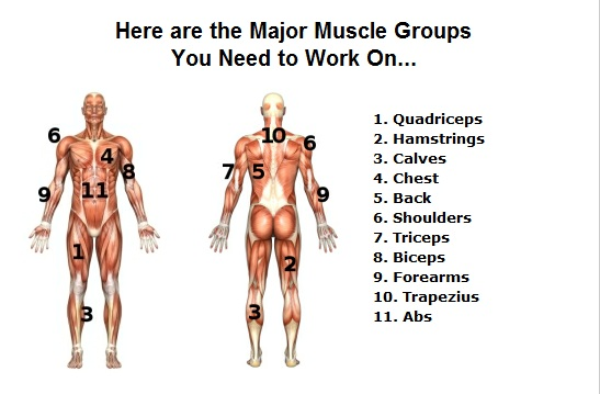 Image result for 11 muscle groups
